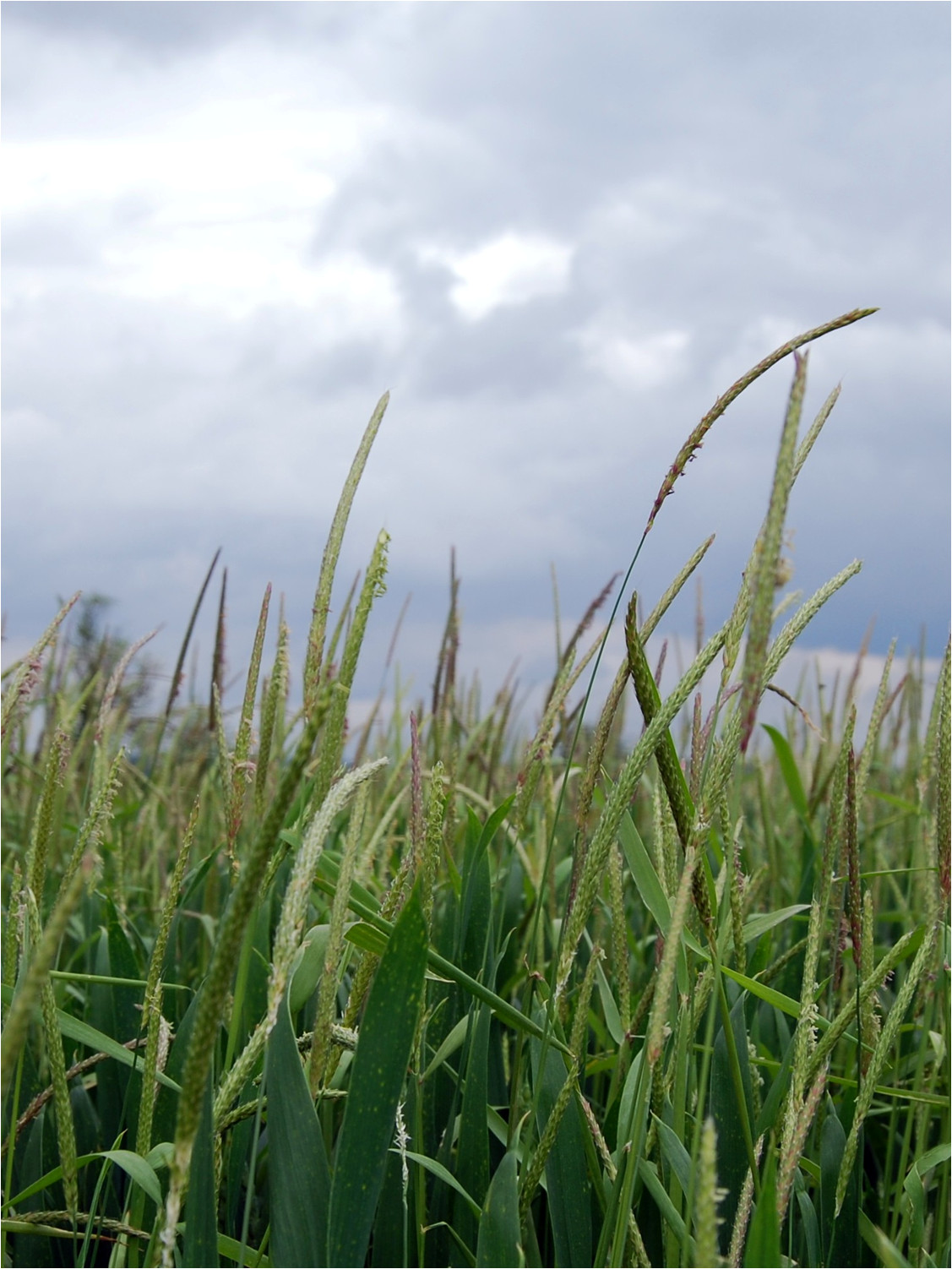 Better black-grass control to reduce threat to yield and profit course image