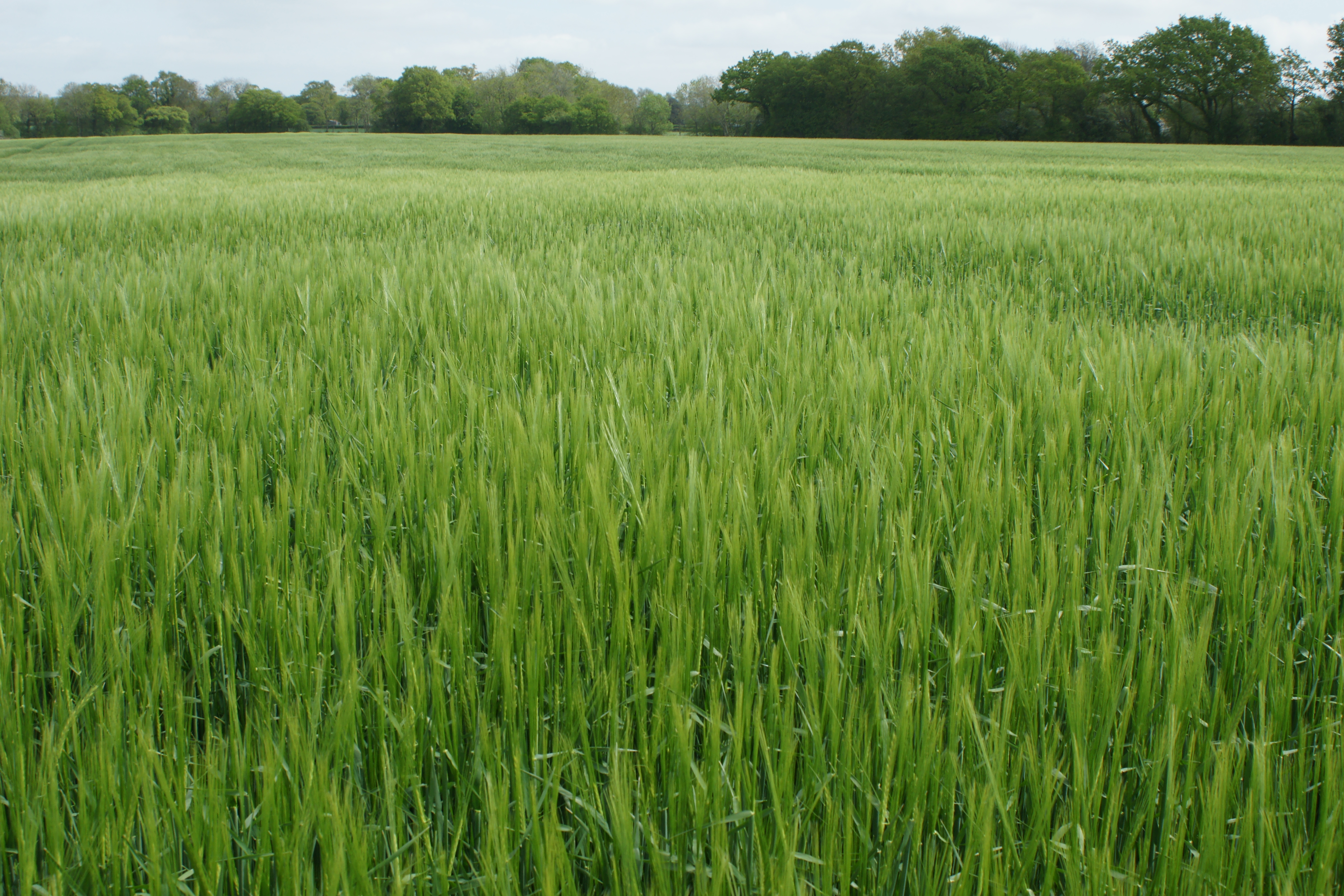 Exploring Winter & Spring Barley Agronomy course image