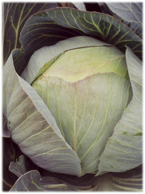 Profitable growing of vegetable brassicas course image