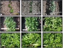 Understanding potato crop growth stages course image